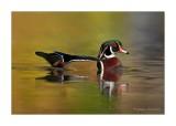 branchu__wood_duck