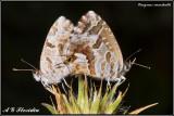Butterflies and Moths (Lepidoptera) of Malta
