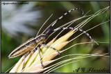 Agapanthia asphodeli