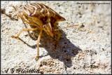 Heteroptera of Malta
