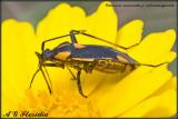 Calocoris nemoralis cf. rubromarginata