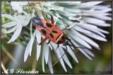 Calocoris nemoralis cf. vittata