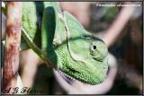 Chamaleo chamaeleon