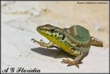 Podarcis filfolensis maltensis