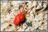 Spiders and Scorpions (Arachnida) of Malta