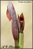 Serapis parviflora