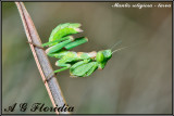 Mantis religiosa - larva