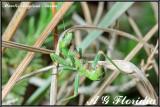 Mantis religiosa - nymph