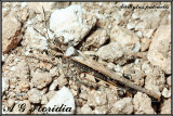 Grasshoppers (Orthoptera) of Malta