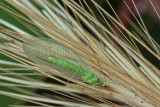 Lacewings and Ant Lions (Neuroptera) of Malta