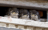 Violet-green Swallow chicks