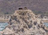 Ospreys in nest on tufa