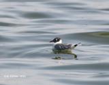 Franklins Meeuw - Franklin's Gull - Larus pipixcan