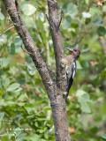 Roodborstsapspecht - Red-breasted Sapsucker - Sphyrapicus ruber