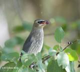 Cederpestvogel - Cedar Waxwing- Bombycilla cedrorum
