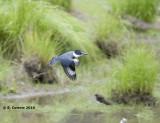Bandijsvogel - Belted Kingfisher - Ceryle alcyon