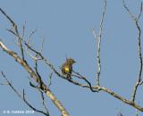 Mirtezanger - Yellow-rumped Warbler - Dendroica coronata