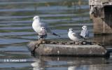 Kleine Kokmeeuw - Bonaparte's Gull - Larus philadelphia