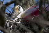 Nesting Spoonbill