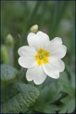 Common primrose - Primula vulgaris