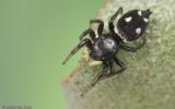 Heliophanus apiatus_EM-98687.jpg