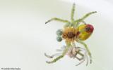 0_Araniella cucurbitina_0572 EM-95540.jpg