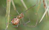 Neriene radiata_0790 EM-94851.jpg