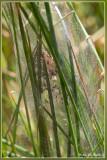 nest Kraamwebspin - Pisaura mirabilis nest