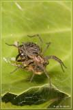 Gewone doolhofspin (Agelena labyrinthica).