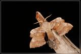 motten  - moths