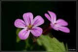 Robertskruid - Geranium robertianum