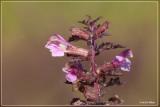 Moeraskartelblad - Pedicularis palustris