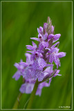 Gevlekte orchis - Dactylorhiza maculata subsp. maculata