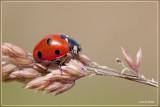 Kevers (bugs)