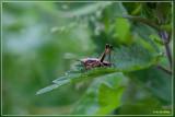 Bramensprinkhaan - Pholidoptera griseoaptera