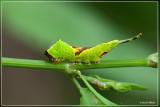 Kleine hermelijnvlinder - Furcula furcula