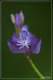 Gewone vleugeltjesbloem - Polygala vulgaris