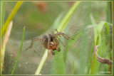 Gewone doolhofspin - Agelena labyrinthica