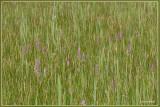 Grote muggenorchis en bosorchis samen in grasland