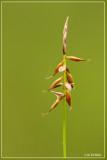 Vlozegge - Carex pulicaris