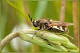 Noordelijke Kameleonwapenvlieg - Stratiomys singularior