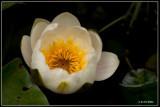 Witte waterlelie - Nymphaea alba