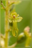 Grote keverorchis - Neottia ovata of  Listera ovata
