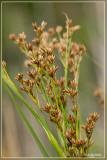 Galigaan - Cladium mariscus
