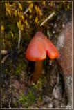 Zwartwordende wasplaat - Hygrocybe conica
