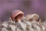 Zeedenmycena - Mycena seynii