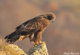 Special gallery - Golden eagle and Goshawk