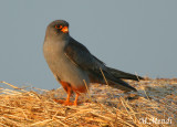 Red footed falcon - Roller - Lesser Grey Shrike