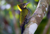 Woodpeckers and Nuthatches of Malaysia