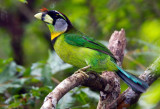 Barbets and Hornbills of Malaysia